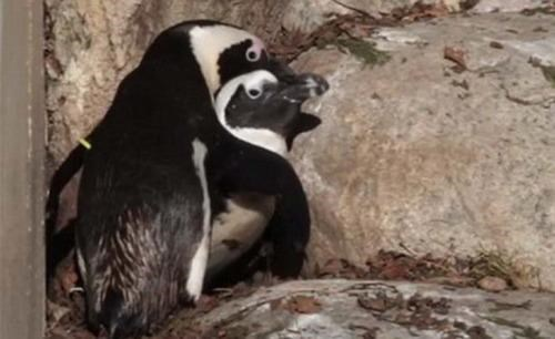 Buddy and Pedro Follow Up Gay Penguins - 5423682816