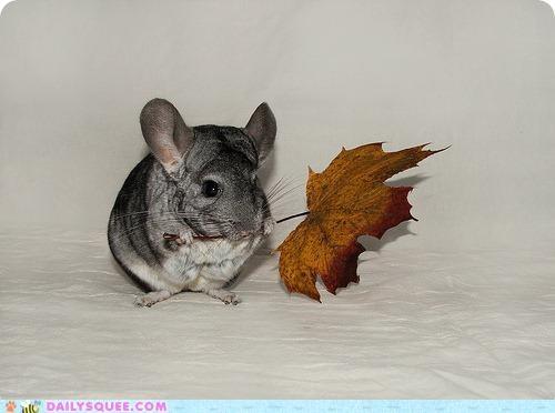 acting like animals asking chinchilla dance leaf present presenting - 5423953152