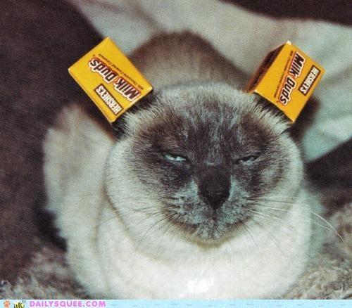 acting like animals,annoyed,birthday present,blame,box,candy,cartons,cat,denied,ears,guilt trip,Hall of Fame,human,lolwut,milk duds,request,siamese,substitute,wearing