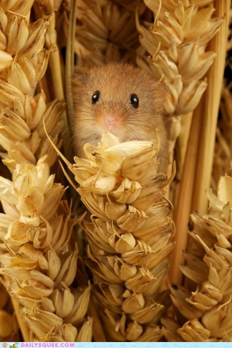 do want,harvest,hiding,hungry,nestled,nestling,noms,peeking,rodent,tiny,wheat