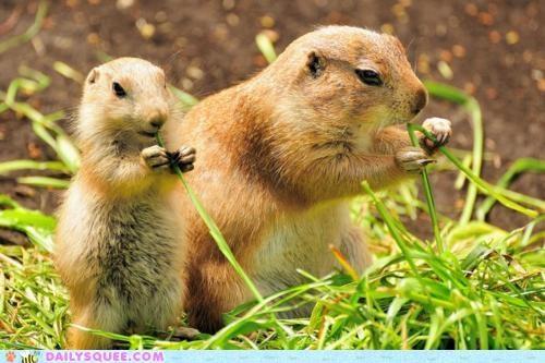 baby child imitating imitation instruction mother nomming noms prairie dog Prairie Dogs teaching