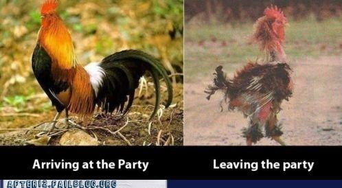 feathers,morning after,Party,party rock,rooster