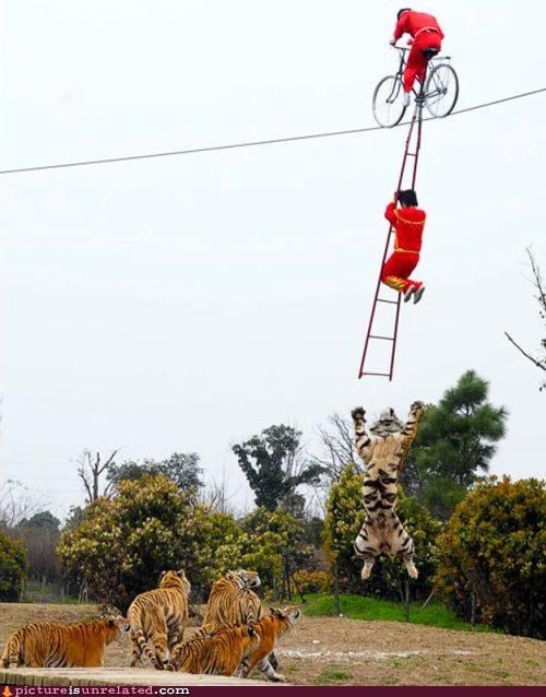bicycle daredevil tigers wtf - 5425449216