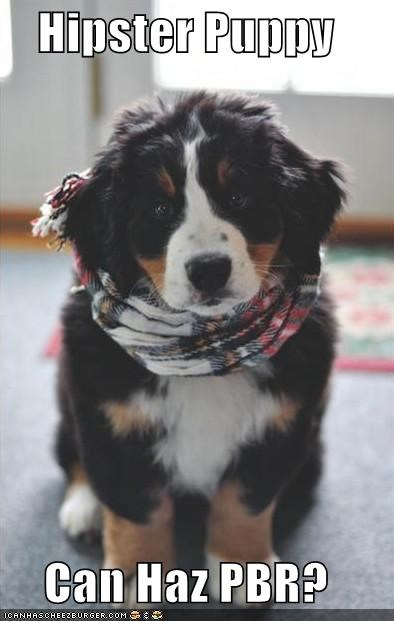 beer,bernese mountain dog,best of the week,booze,dogs,Hall of Fame,hipster,i has a hotdog,no,pbr,scarf,underage