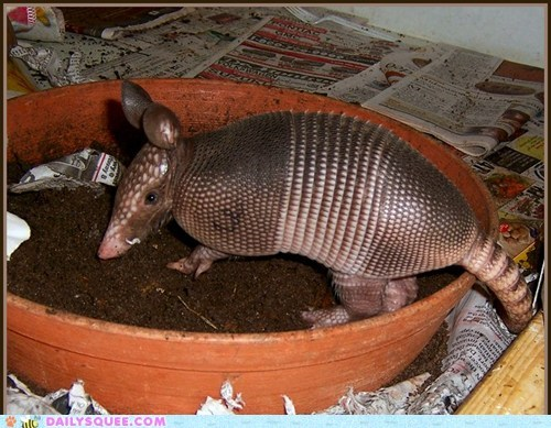 armadillo,baby,flower pot,Hall of Fame,imitating,imitation,impersonation,pretending,squee spree,winner