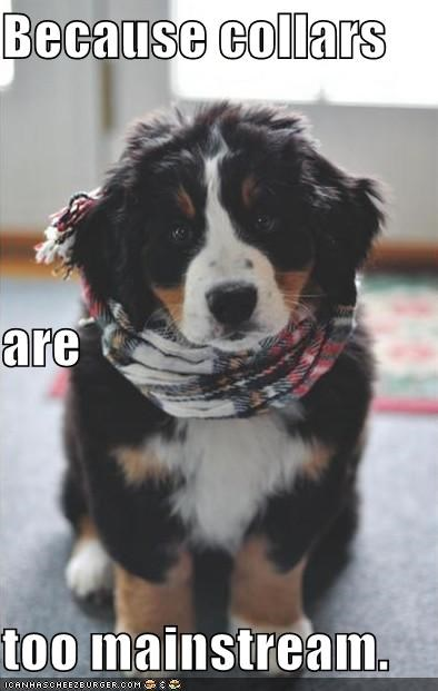 bernese mountain dog,collars,mainstream,puppy,scarf