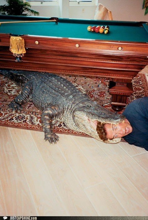 alligator animals caption contest i-have-no-idea-whats-going-on looks painful predicament wtf - 5436201472
