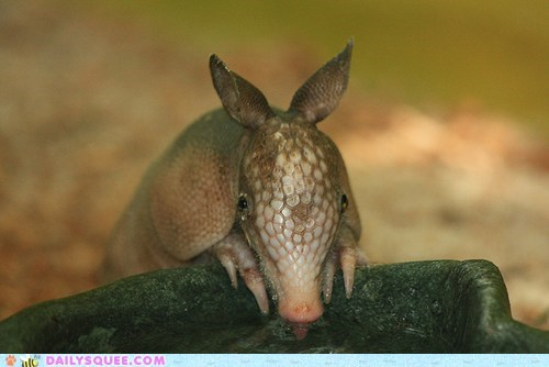 armadillo,difference,drinking,proportion,size,squee spree,thirsty,tiny,water