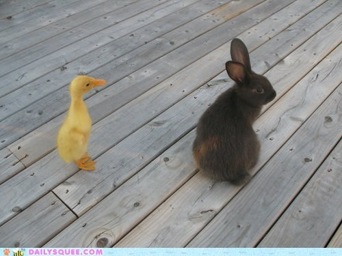 bunny,duck,duck duck goose,duckling,friends,friendship,game,Hall of Fame,Interspecies Love,literal,rabbit