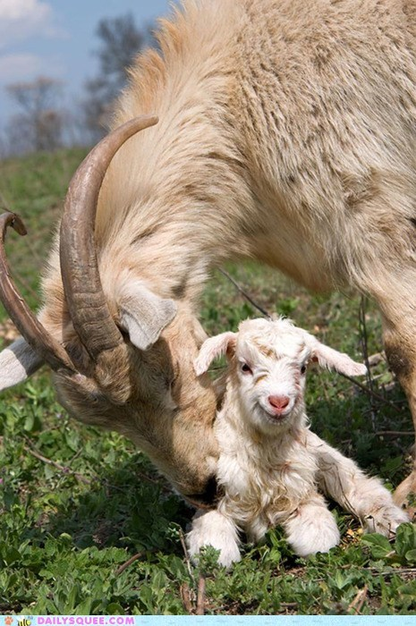 baby,do want,familial love,family,Father,goat,goats,Hall of Fame,happy,love,nuzzle,nuzzling,smiling