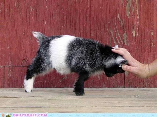 acting like animals baby calf do not want futile futility goat pushing resistance sisyphus trying upset - 5440755712