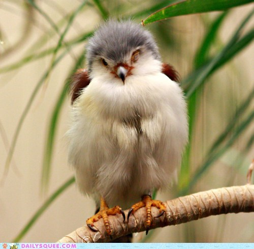 adorable downy falcon feathers floofy poofy pretty pygmy falcon tiny unbearably squee - 5440798208