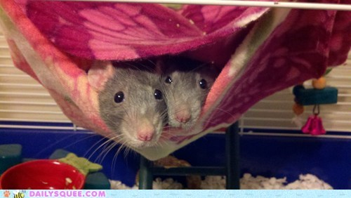 food leaving noms rat rats reader squees reason searching warm warmth - 5441118976