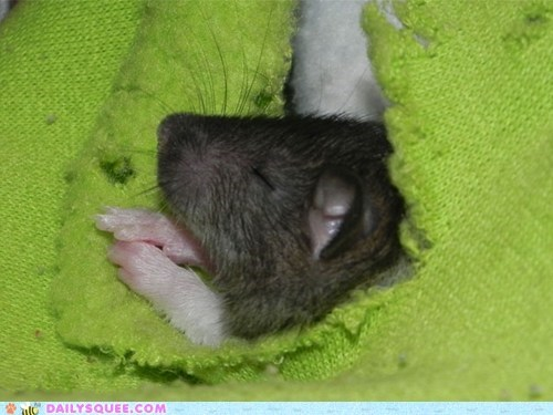 baby cute energetic exhausted hard work rat reader squees sleeping tired worn out - 5441749248