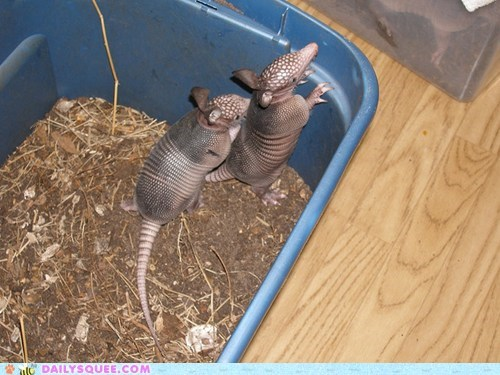 armadillo armadillos climbing do want escape playing reaching squee spree - 5445027840