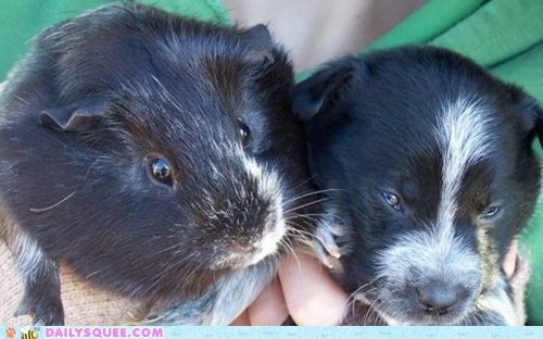 blue heeler,guess,guinea pig,puppy,question,questions,reader squees,resemblance,siblings