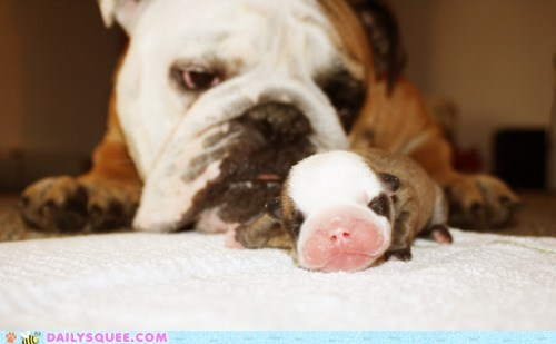 baby bulldog bulldogs gene Genetics Hall of Fame pun puppy remedial resemblance