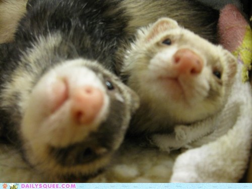 best friends ferret ferrets friends friendship inseparable reader squees soul mates