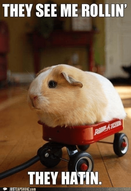 animal funny guinea pig I Can Has Cheezburger - 5451697152