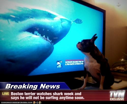 Breaking News - Boston terrier watches shark week and says he will not be surfing anytime soon.