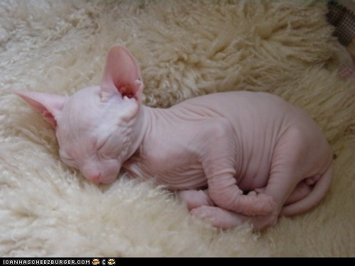 best of the week,cyoot kitteh of teh day,hairless,nekkid,newborn,pink,sleeping,tiny