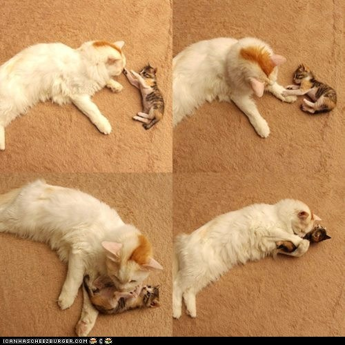 cyoot kitteh of teh day,family,mama,mom,multipanel,playing,playtime,two cats