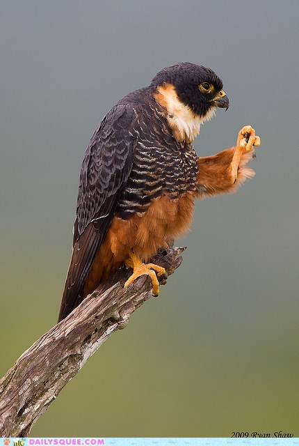 acting like animals fingers hawk pose snapping threat warning west side story - 5453220608