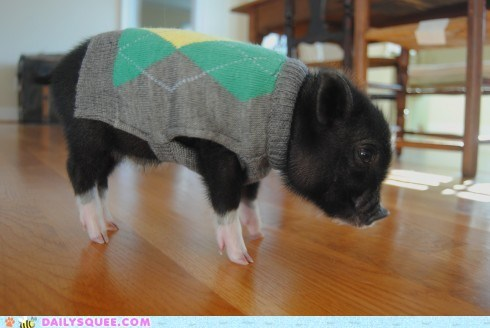 adorable,argyle,baby,Hall of Fame,outfit,pig,piglet,swag,sweater,unbearably squee