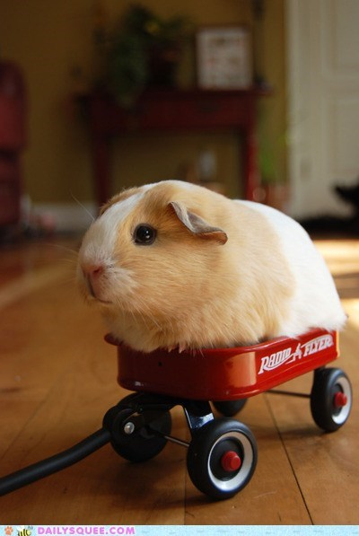 adorable,baby,chamillionaire,guinea pig,Hall of Fame,parody,riding,riding dirty,splort,tiny,unbearably squee,wagon