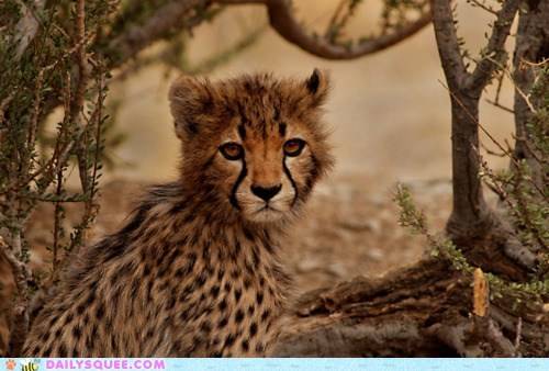 baby cheetah cub disarray disgruntled do not want frown frowning fur grumpy hair messy