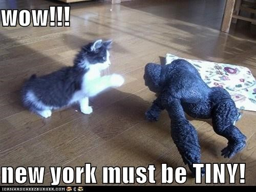 be caption captioned cat confused king kong kitten model must new york tiny WoW - 5454146304