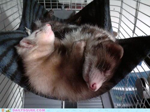 asleep bubba gump shrimp co ferret ferrets Forrest Gump names reader squees sleeping - 5455713792