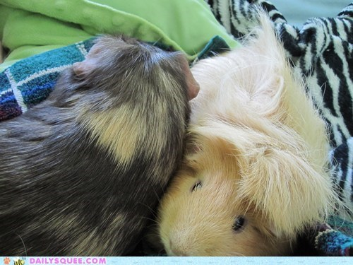 cuddles cuddling guinea pig guinea pigs name namesake reader squees snuggles snuggling sweet - 5456209920