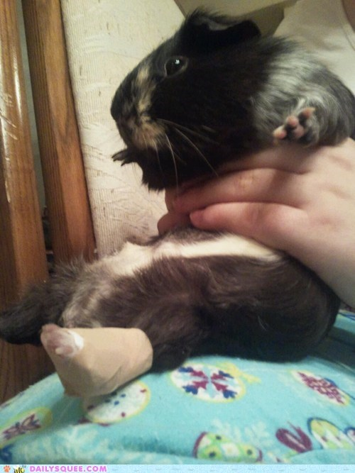 adorable,endearing,fix,fixing,guinea pig,itty bitty,poultice,reader squees,solution,splinter,tiny,touching