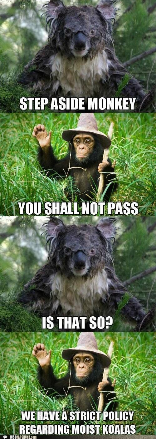 animals,because of reasons,chimpanzee,gandalf,koala,Lord of the Rings,monkey,you shall not pass