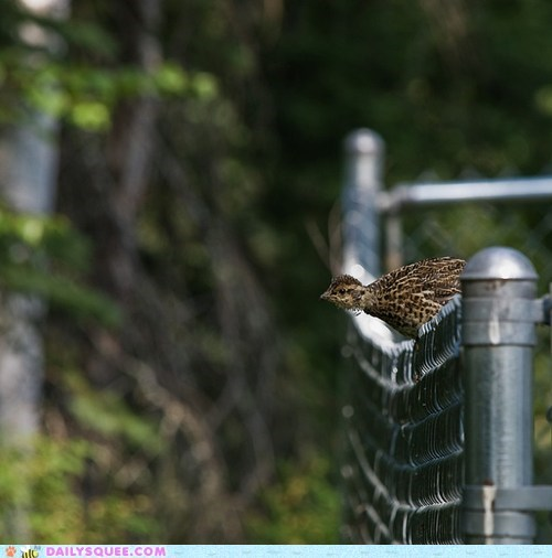 baby chick double meaning metaphor on the fence perching ptarmigan pun squee spree winner - 5464247040