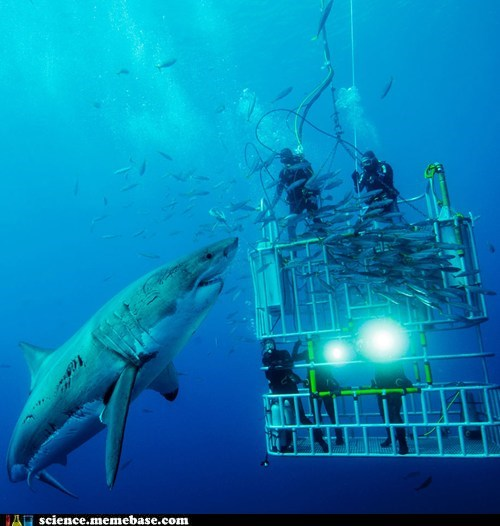 divers great white shark huge oceanography scuba - 5464293632