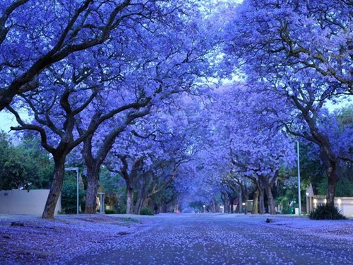 blue blue blossoms getaways trees unknown location user submitted vivid colors - 5464337664