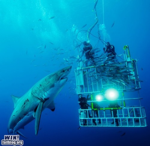 great white shark national geographic photography scuba shark underwater - 5464510720