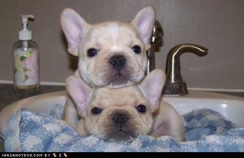 adorbz french bulldogs friends goggie ob teh week puppies siblings