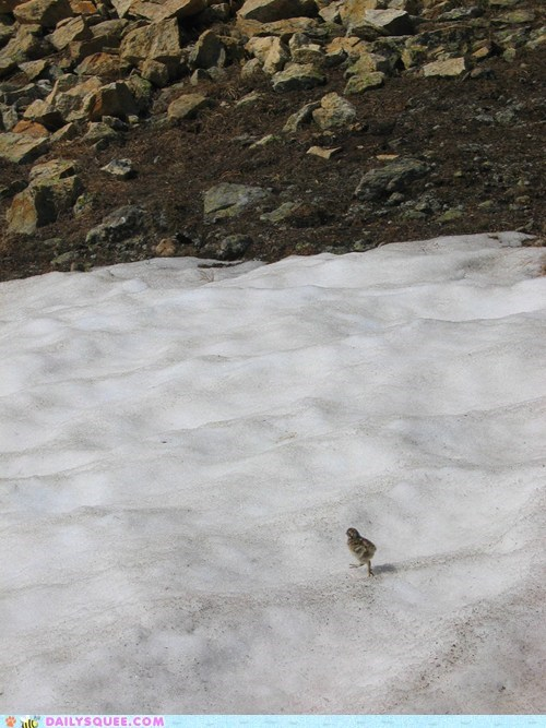 baby chick comfortable playing ptarmigan running snow squee spree unfazed