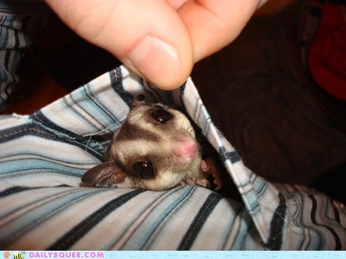 baby,emergency,Hall of Fame,pocket,pun,sugar,sugar glider,supply,tiny