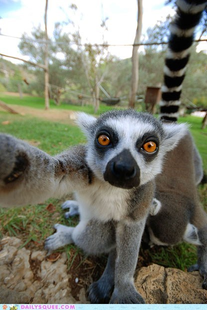 acting like animals camera curious do want grabbing lemur Photo - 5465565440
