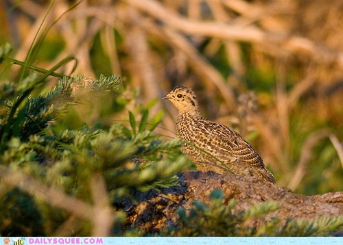 baby,chick,chocobo,comparison,pose,posing,ptarmigan,squee spree