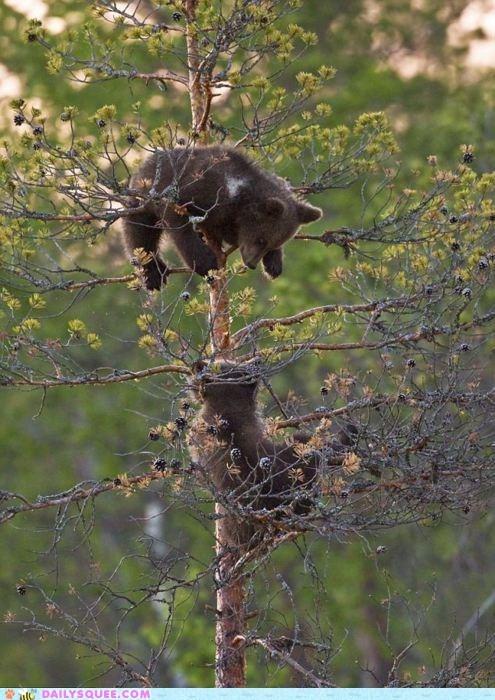 acting like animals Babies baby bad idea bear bears climbing cub cubs explanation high story stuck tall tree - 5469623040