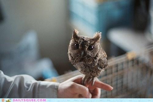 adorable baby bird of prey falcon falconer finger Hall of Fame imitating imitation itty bitty Owl owlet perching peregrine falcon person tiny - 5469650176