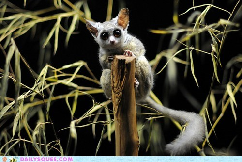 Babies baby bushbabies bushbaby contest galago poll squee spree tarsier tarsiers - 5473211392