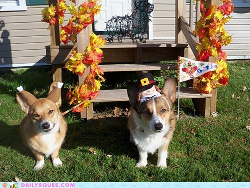 acting like animals corgi corgis costume dogs dressed up hat noms puritans sharing story thanksgiving Turkey