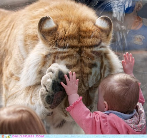 acting like animals,baby,child,connection,friends,friendship,glass,Hall of Fame,hands,human,Interspecies Love,soulmate,soulmates,tiger,touching