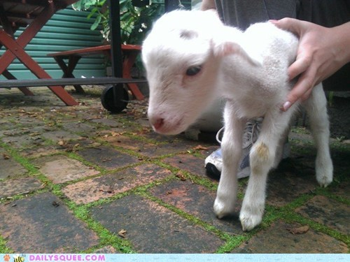 adorable baby lamb one week old shaky sheep standing tiny unbearably squee unstable - 5473644288